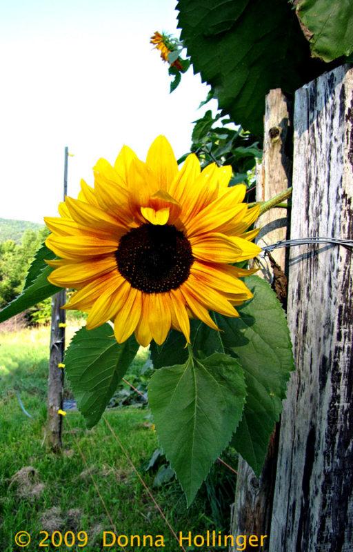 Sunflower in Annis Garden