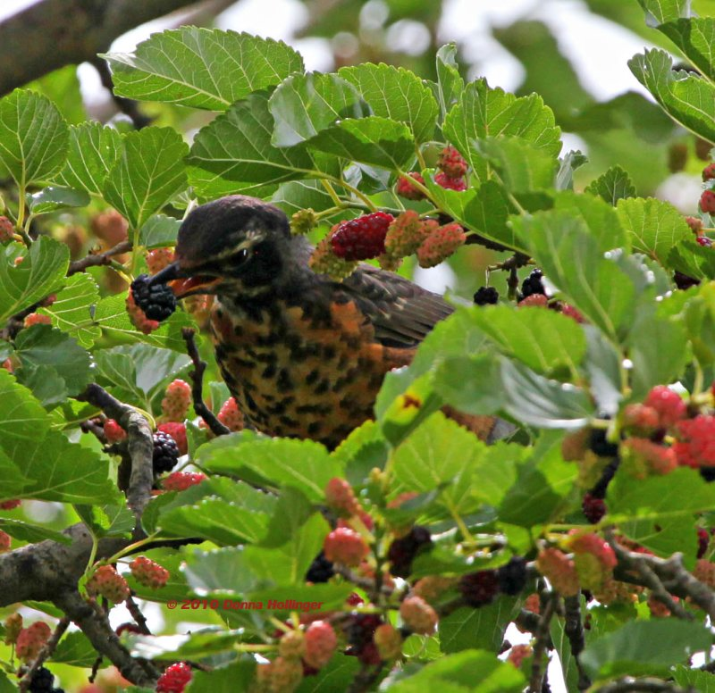 Young Robin Gobbling Mulberries