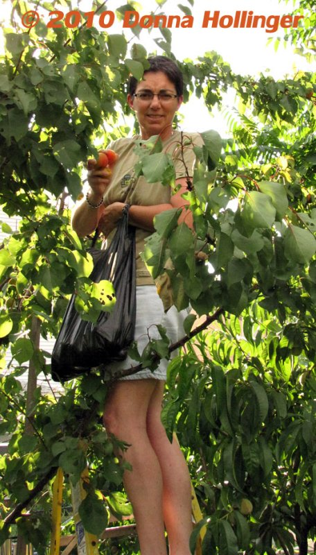 Cathy Picking Apricots