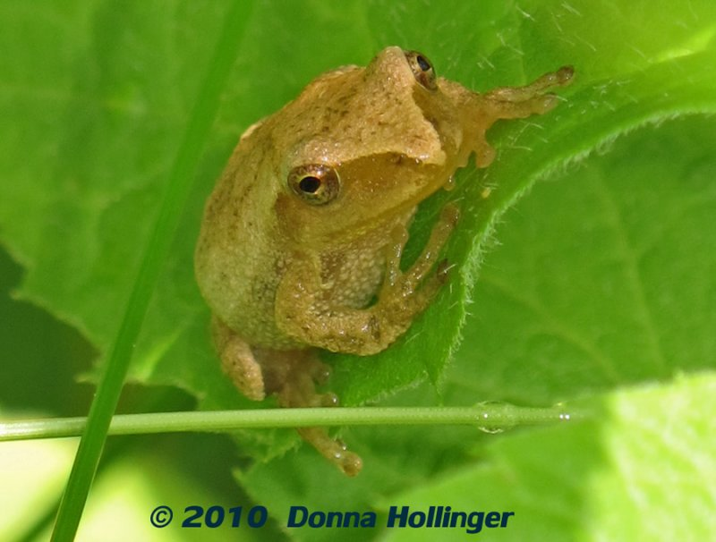 Spring Peeper (Pseudacris crucifer)  on a leaf