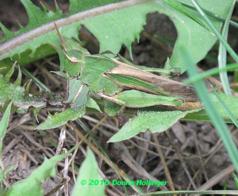 Brown eyed grasshopper
