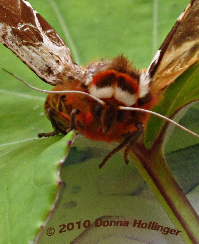 Tiger Moth Eyebrows