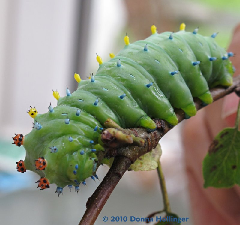 The Caterpillar Stage of a Cecropia Moth