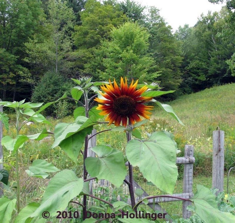 Annis Sunflower Seeds