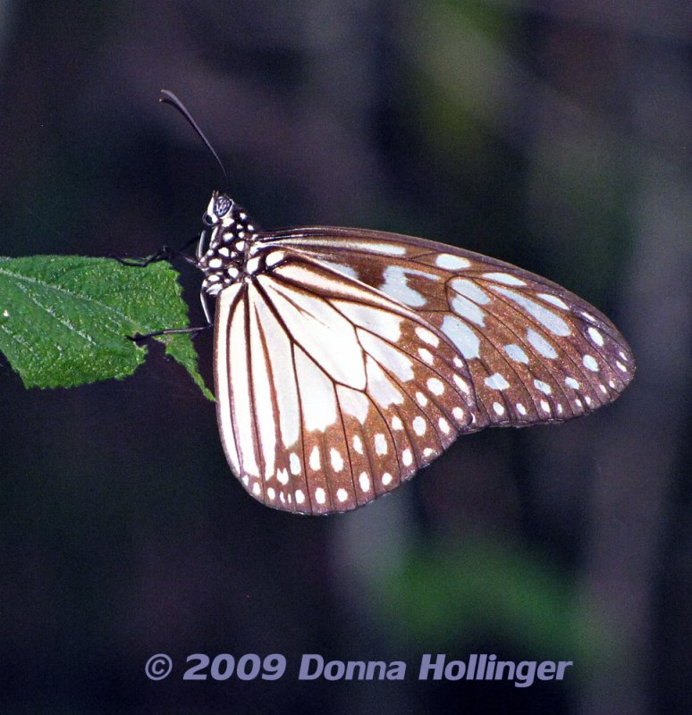 Brown, Blue and White Butterfly