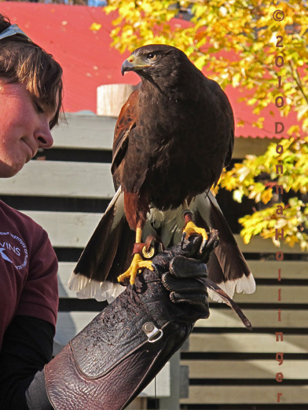 Harry, The Harris Hawk
