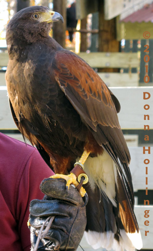 Harry is a Harris Hawk