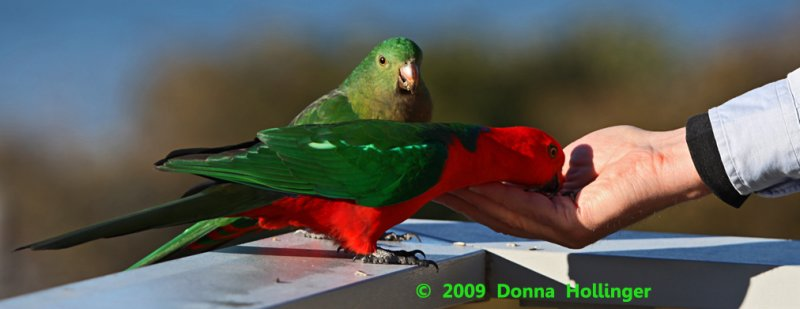 King Parrot (Male) Feeds Out of Peters Hand