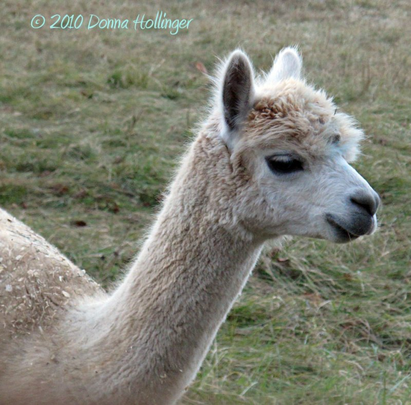 Wallaces New Alpaca