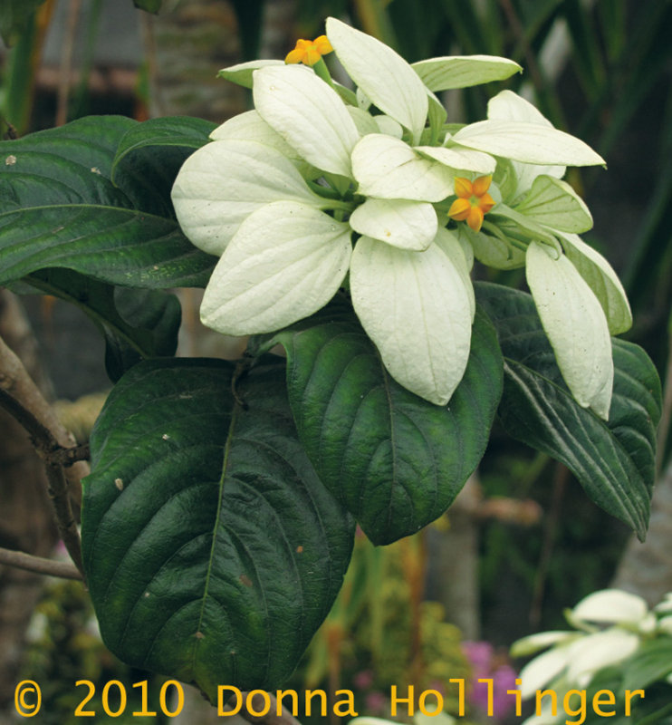 Mussaenda (related to coffee)