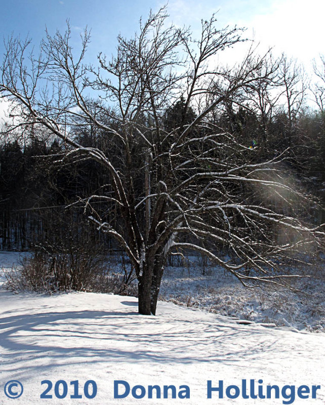 Apple Tree Outlined in Snow