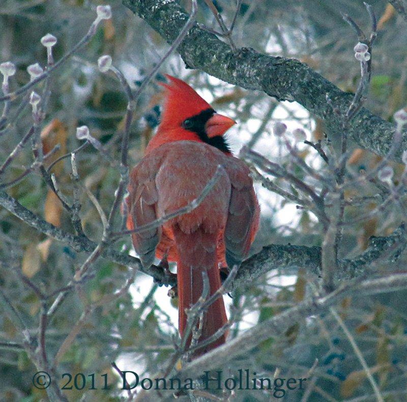 Turning Male Cardinal