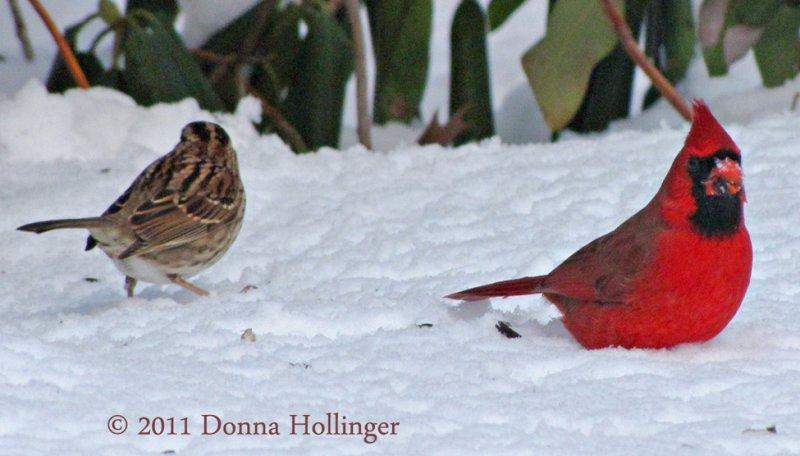 Feeding on the snow, A Sparrow and a Cardinal