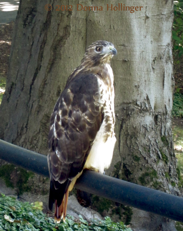 Redtailed Hawk At Mount Auburn Cemetery