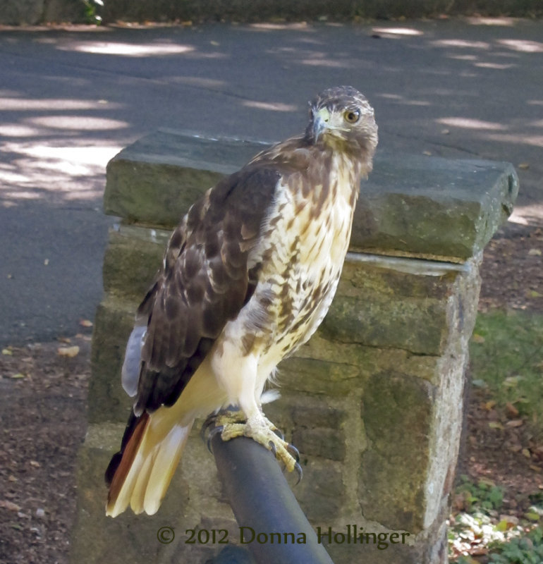 Redtailed Hawk At Mount Auburn Cemetery
