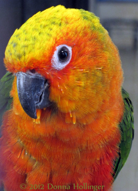 Conjure, Red Yellow and Green Parrot