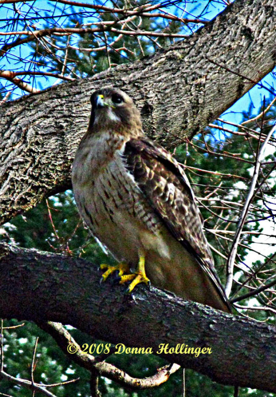 There were four Red Tailed Hawks Today