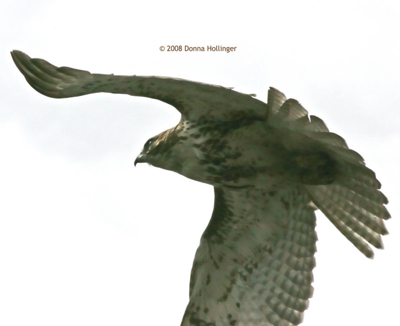 Immature Redtail Flying Away