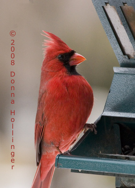 Male Cardinal At Attention