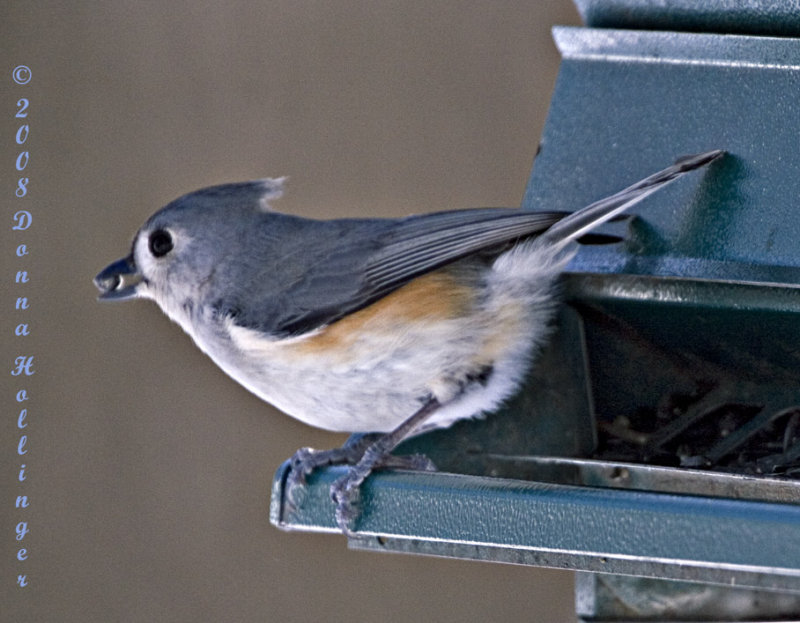 Titmouse At The Feeder