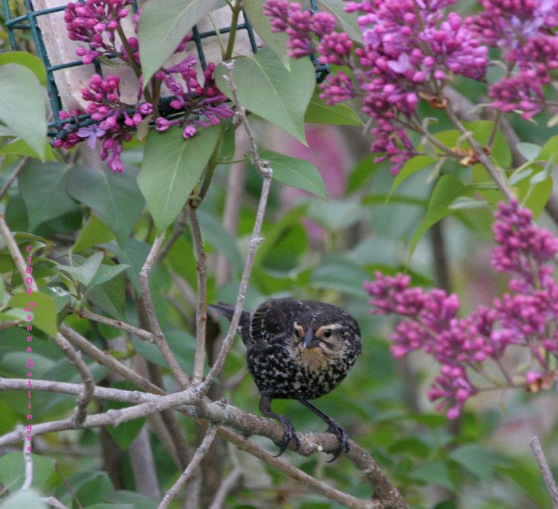 Red Winged Blackbird (female)