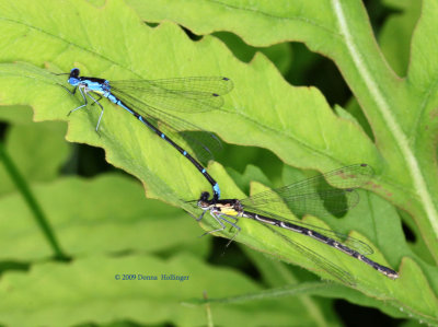 Damselflies Mating on a Fern