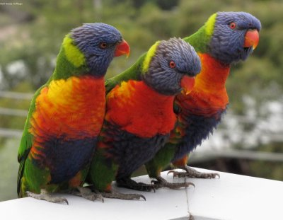 Rainbow Lorikeets- Winking, Blinking and Frowning!