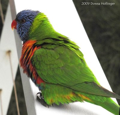 Rainbow Lorikeet Closer