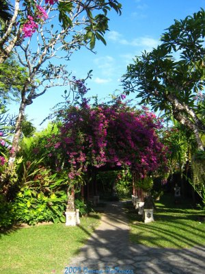 Bougainvillea Before Breakfast