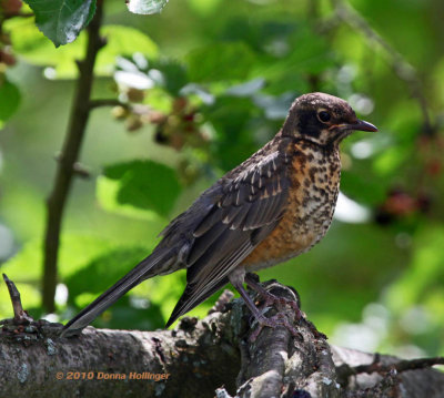 Young robin in the Mulberry Tree