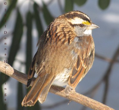 White Throated Sparrow (Male)