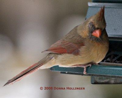 Female Cardinal Missing an Eye