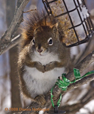 Red Squirrel Visitor