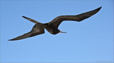 frigate male in flight
