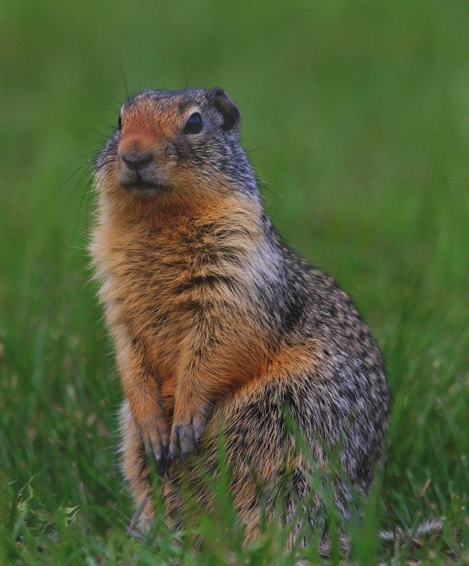 ColumbianGroundSquirrel6303.jpg