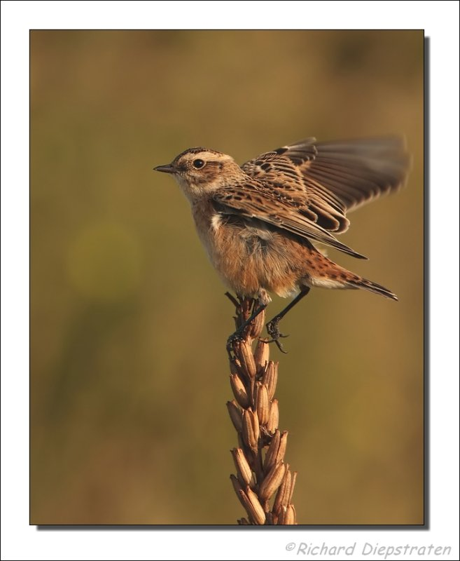 Paapje - Saxicola rubetra - Whinchat