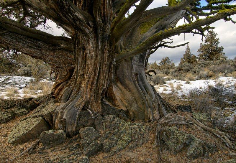 old juniper