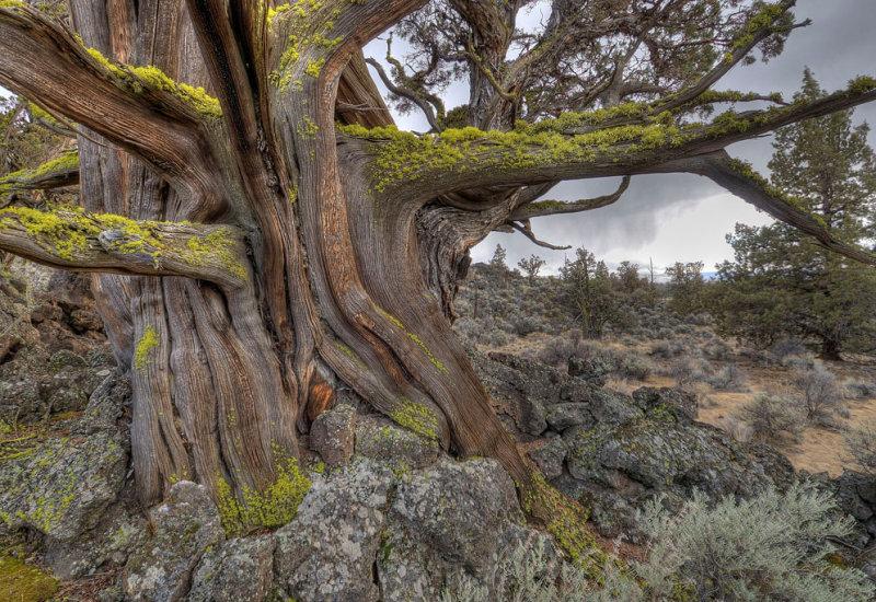 badlands ancient juniper