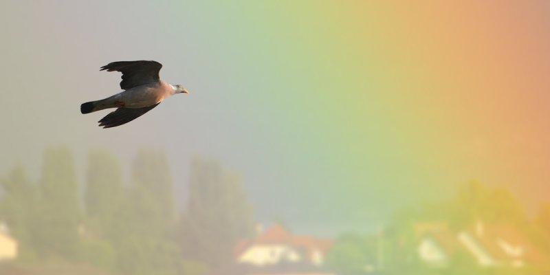 Wood pigeon (columba palumbus), Préverenges, Switzerland, July 2009