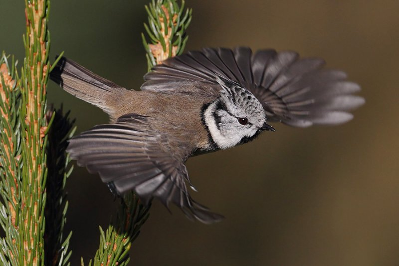 Crested tit (lophophanes cristatus), Ayer, Switzerland, October 2010