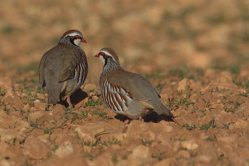 Red-legged partridge (alectoris rufa), Bonete, Spain, January 2011