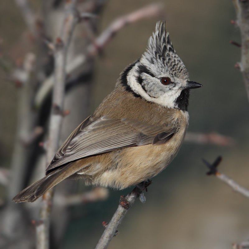 Crested tit (lophophanes cristatus), Ayer, Switzerland, January 2011
