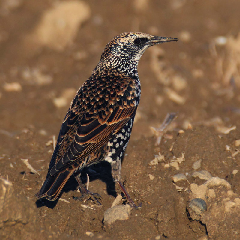 Common starling (sturnus vulgaris), Echandens, Switzerland, October 2012