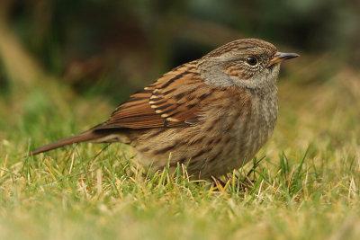 Hedge sparrow, Echandens, Switzerland, December 2008