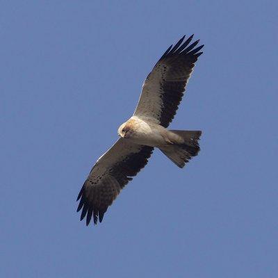 Booted eagle (hieraaetus pennatus), Elche, Spain, January 2011