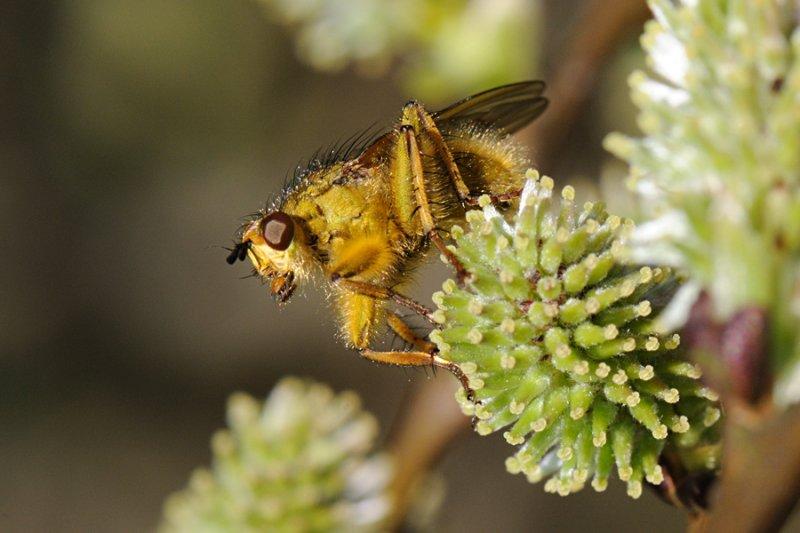 Common yellow dung fly, Scathophaga stercoraria , Almindelig gødningsflue 1