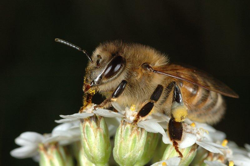 Bee collecting pollen 1