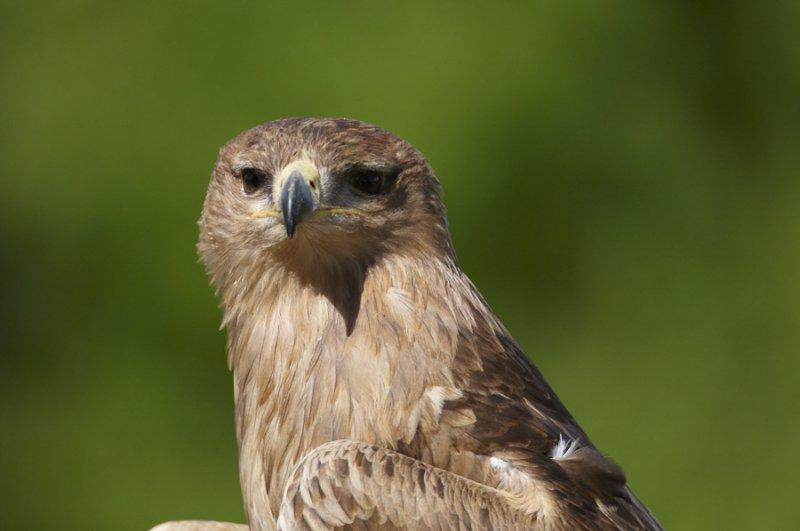 Indian Tawny Eagle profile head 342