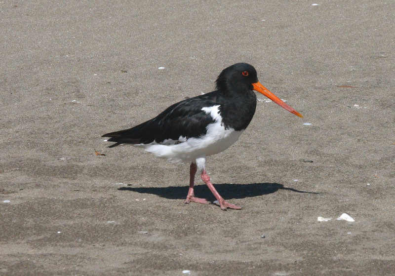 Oyster Catcher, Huia 8116