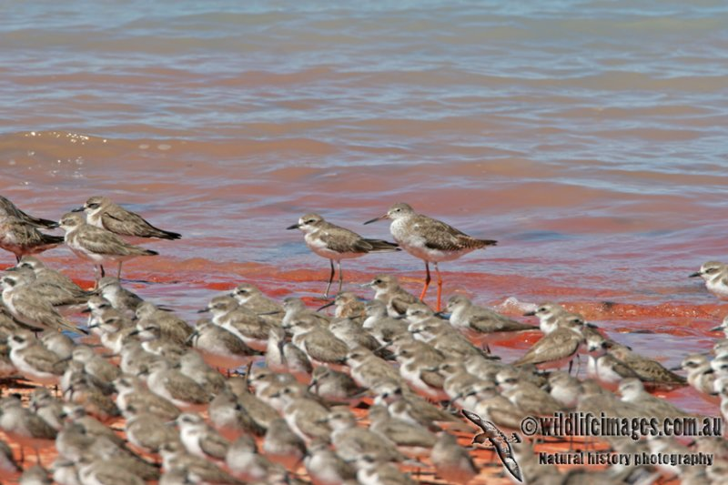 Common Redshank a6728.jpg